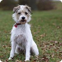 Adopt A Pet :: GRINGO - Ile-Perrot, QC