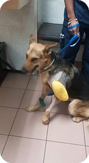 German Shepherd Dog Dog for adoption in Lithia, Florida - CHAMPY-16 ADOPTION PENDING