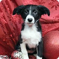 Adopt A Pet :: LILA - Westminster, CO