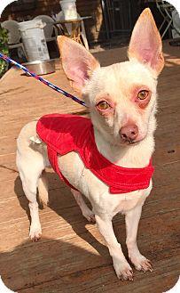Chihuahua Puppy for adoption in Santa Ana, California - Melman