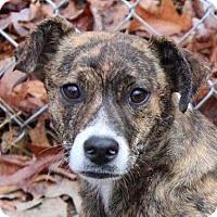Adopt A Pet :: Shelby - Harrisonburg, VA