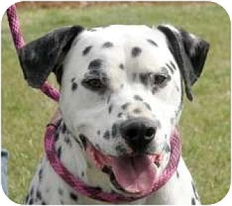 Dalmatian Mix Dog for adoption in Turlock, California - Boomer