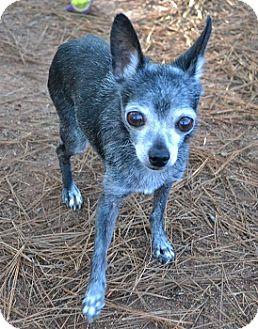 Chihuahua Mix Dog for adoption in Athens, Georgia - Rascal