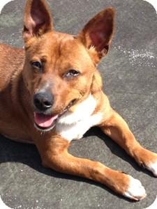 Dachshund/Corgi Mix Dog for adoption in Washington, D.C. - Marco