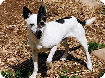 rat terrier australian cattle dog mix spring valley ny rat terrier australian cattle dog mix 7173