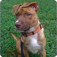 Adopt A Pet :: Oriole - Reisterstown, MD
