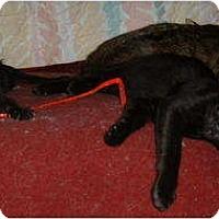 Adopt A Pet :: Faerie (Little Fae) - Springdale, AR