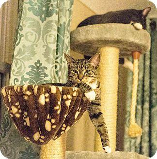 Domestic Shorthair Cat for adoption in Wyandotte, Michigan - Seth