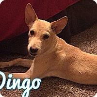 Adopt A Pet :: Dingo - E. Greenwhich, RI