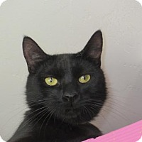 Domestic Shorthair Cat for adoption in Tucson, Arizona - Cayman