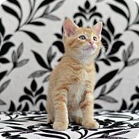 Adopt A Pet :: Cheddar - St. Louis, MO