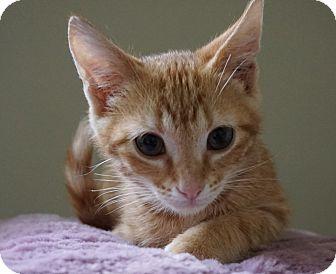 Domestic Shorthair Kitten for adoption in Houston, Texas - Henry