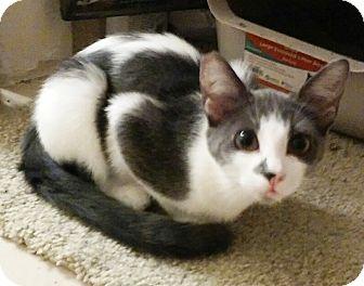 Domestic Shorthair Kitten for adoption in Lake Elsinore, California - Pretty Kitten