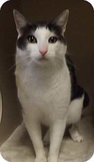 Domestic Shorthair Cat for adoption in Cheboygan, Michigan - Olof