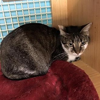 Domestic Shorthair Cat for adoption in Sunset, Louisiana - Kassidy
