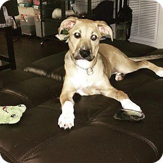Husky/Terrier (Unknown Type, Medium) Mix Puppy for adoption in Royal Palm Beach, Florida - Joy