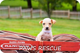 Labrador Retriever/Collie Mix Puppy for adoption in Forest Hill, Maryland - Darby