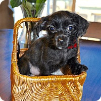 Chihuahua/Terrier (Unknown Type, Small) Mix Puppy for adoption in DeForest, Wisconsin - Buiscuit