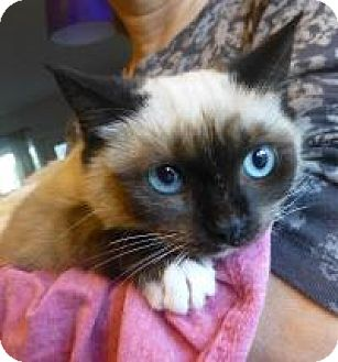 Snowshoe Kitten for adoption in San Carlos, California - Bijou