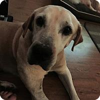Adopt A Pet :: Moose - Towson, MD