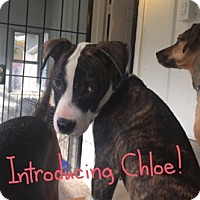 Pit Bull Terrier Mix Puppy for adoption in Indianapolis, Indiana - Chloe