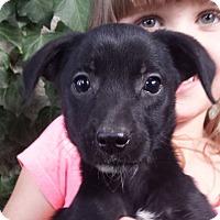 Adopt A Pet :: Rogue AD 12-10-16 - Preston, CT