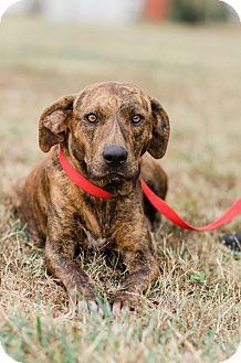 Labrador Retriever/Hound (Unknown Type) Mix Dog for adoption in Seneca, South Carolina - Sarah $125
