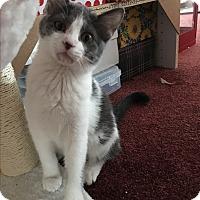 Adopt A Pet :: Bella - Middleton, WI