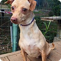 Dachshund Mix Dog for adoption in Santa Ana, California - Georgie