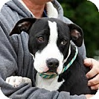 Adopt A Pet :: Domino - richmond, VA