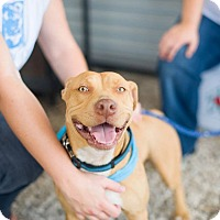 Adopt A Pet :: Bailey - San Antonio, TX