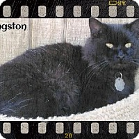 Domestic Longhair Cat for adoption in Fort Worth, Texas - Kingston