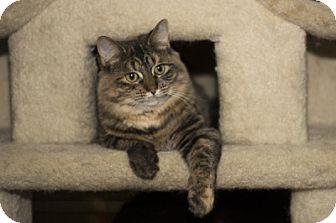 Domestic Mediumhair Kitten for adoption in Lombard, Illinois - Cosette