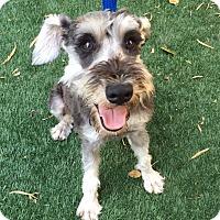 Adopt A Pet :: Rerun - Redondo Beach, CA