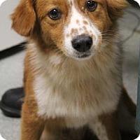 Adopt A Pet :: Aussie - Lincolnton, NC