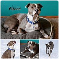 Adopt A Pet :: Gibson - Sioux Falls, SD