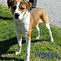 Adopt A Pet :: Brantley - Lawrenceburg, TN