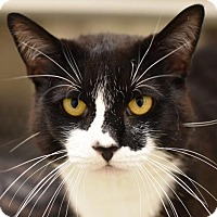 Domestic Shorthair Cat for adoption in Herndon, Virginia - Oreo