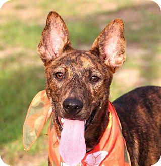 Dutch Shepherd Mix Dog for adoption in San Francisco, California - Felisa