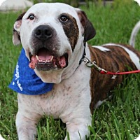 American Bulldog Mix Dog for adoption in Tamarac, Florida - Romeo