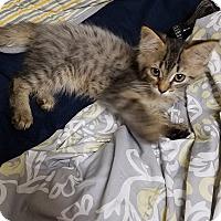 Domestic Mediumhair Kitten for adoption in Port Charlotte, Florida - Frosty