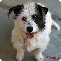 Adopt A Pet :: Speedy - Santa Maria, CA