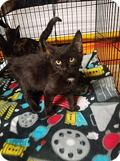 Domestic Shorthair Kitten for adoption in Huntington, West Virginia - Carlisle