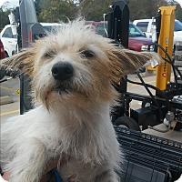 Adopt A Pet :: Jessie - Spring, TX