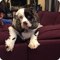 Adopt A Pet :: Korra 3413 - Toronto, ON