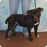 Adopt A Pet :: VIOLET - Louisville, KY