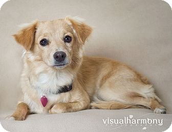Spaniel (Unknown Type)/Sheltie, Shetland Sheepdog Mix Dog for adoption in Phoenix, Arizona - Prince