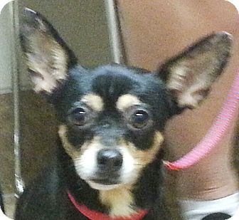 Chihuahua Dog for adoption in Orlando, Florida - Cookie