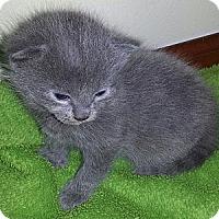 Adopt A Pet :: Yoda - Xenia, OH