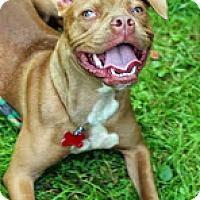 Adopt A Pet :: Charllette - Tinton Falls, NJ